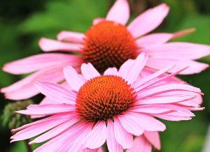 Echinacea-purpurea-complementary-medicine