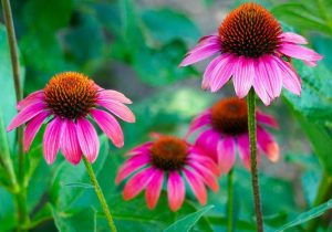 echinacea for flu