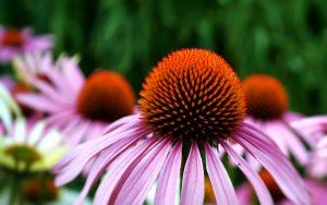 echinacea-immune-system