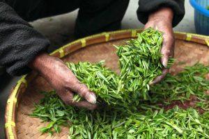 green tea harvest
