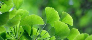 Ginkgo naturopath
