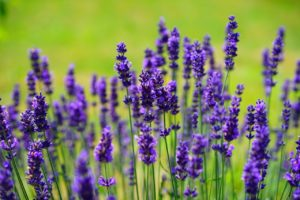 lavender treatment for anxiety